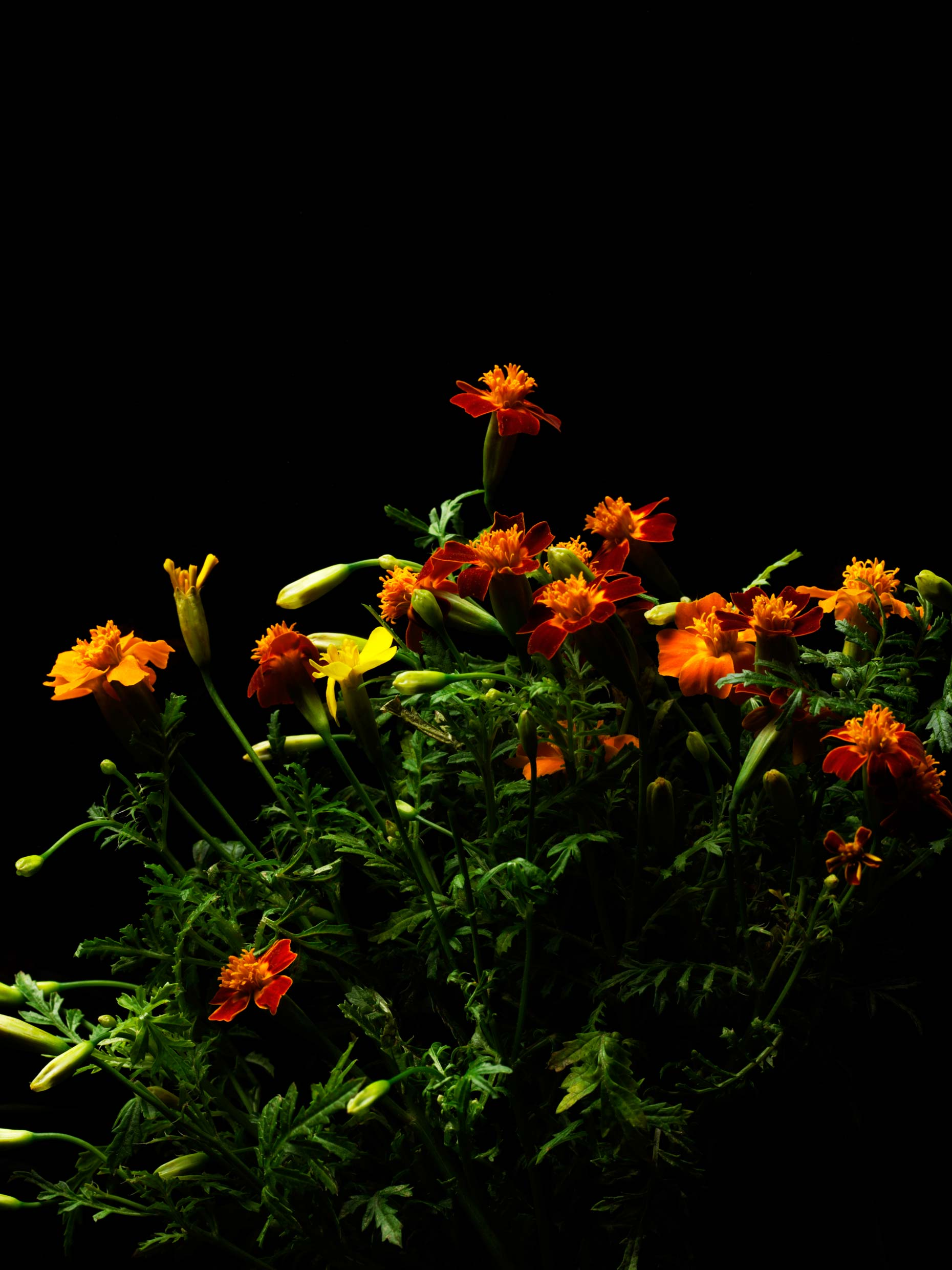adrian_mueller_edible_flowers_04